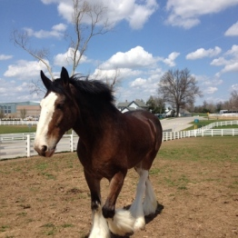 Coaxing the Clydesdale